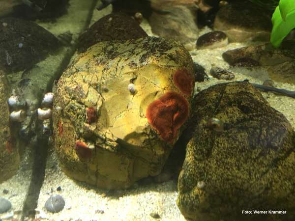 Krusten-Rotalge - Hildenbrandia rivularis