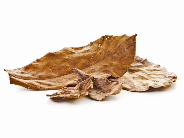 seemandelbaum-blatt-terminalia-catappa-leaves